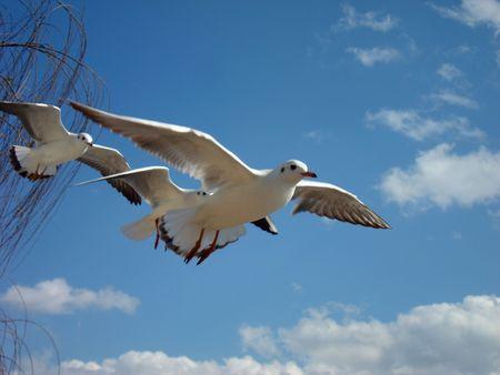 sea mew ,sea gull
