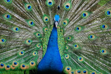 peacock; peafow