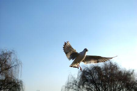 sea mew, sea gull