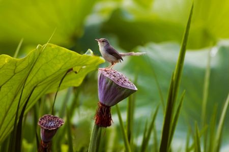 The bird house sparrow stands on the pond lotus leaf
