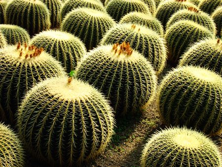 Under sunlight illumination green cactus
