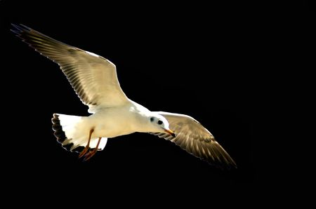 Sea gull Stock Photo
