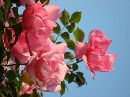 Under blue sky background wild rose