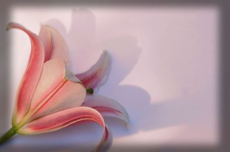 A pink lily in pink background Stock Photo