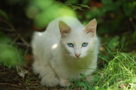 n a thick patch of grasss white cat