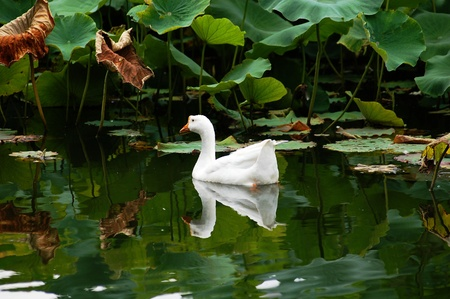 White geese in the pond Stock Photo - 11596471