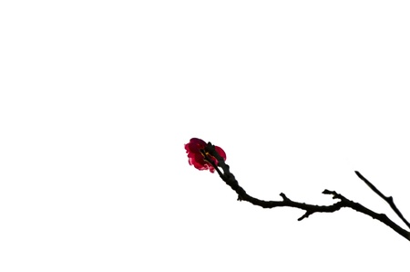 The plum blossom