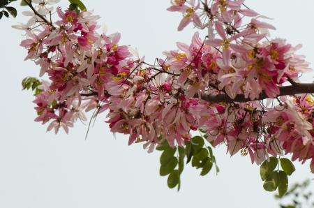 cassia: Cassia javanic