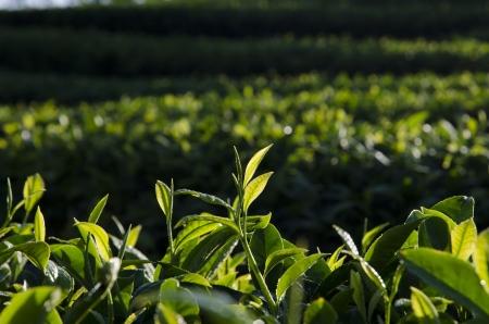 pu: Tea plantations Stock Photo