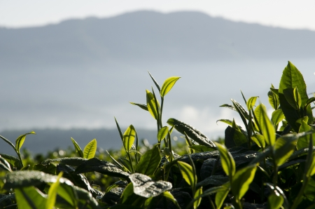 Tea plantations Stock Photo