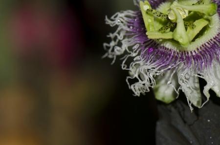 Passion fruit flower Stock Photo