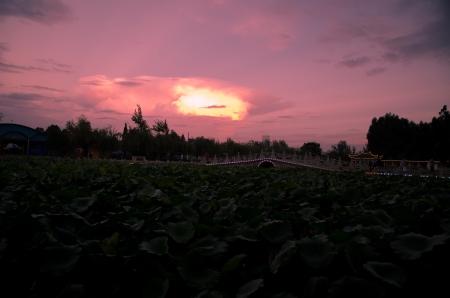Lotus pond of night