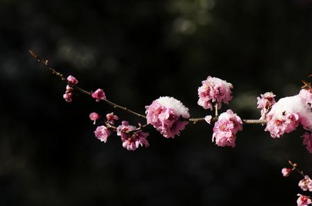 Peach blossom in the snow Stock Photo
