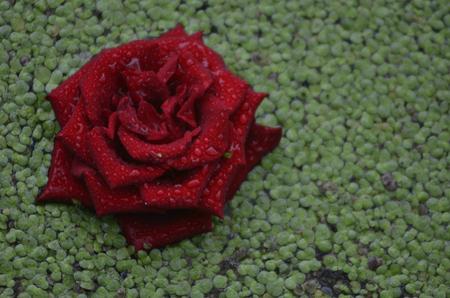duckweed: Rose on the duckweed