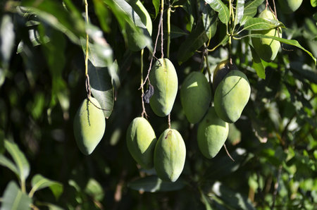 horizontal format horizontal: Mango growing on the tree Stock Photo