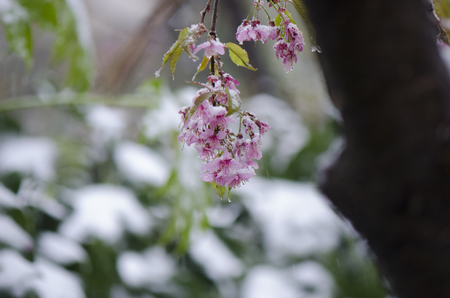 Cherry blossoms in the snow Stock Photo