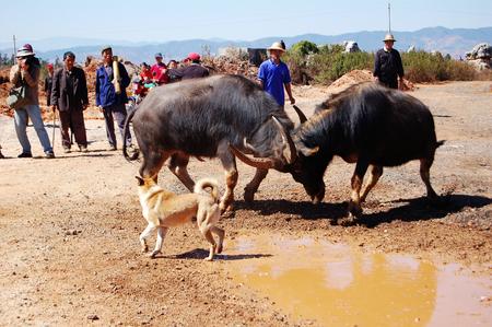 ethnic customs: yis ethnic Spring Festival Folk: the fighting bull