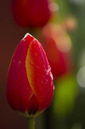 gules: tulip Stock Photo