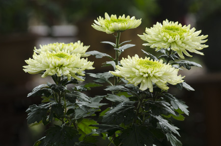 fullframes: chrysanthemum Stock Photo
