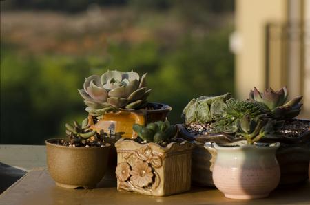 jade plant: Succulent plants Stock Photo