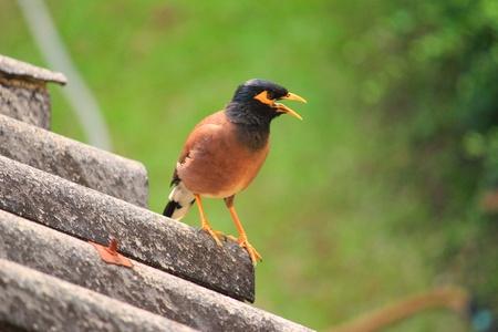 common myna bird: talking Common Myna
