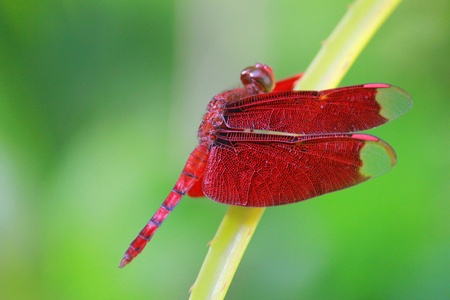 insecta: Red dragonfly