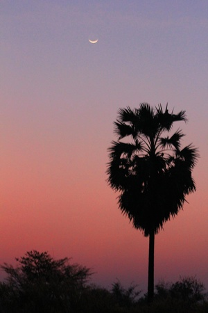 sugar palm: sugar palm at twilight