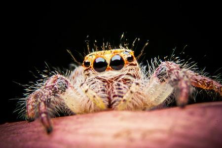 jumping spider: jumping spider on finger