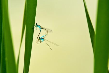 elegans: dragonfly, Ischnura elegans during reproduction