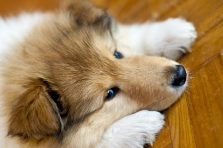 puppydog: puppy-dog collie Stock Photo