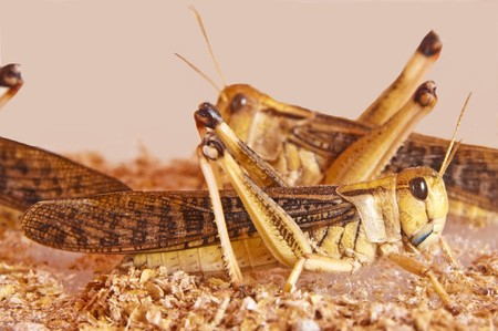 """szarańcza: SzaraÅ""""cza, Locusta migratoria Zdjęcie Seryjne"""