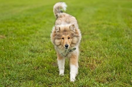 puppydog: collie running Stock Photo