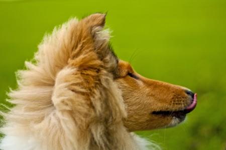 puppydog:  collie Stock Photo