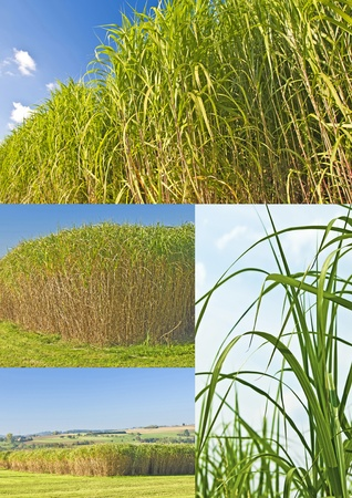l petrol: The renewable resource switchgrass for  heating and production of diesel