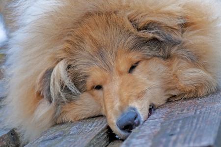 puppydog: head of a british Collie dog Stock Photo