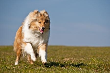 runing: collie running Stock Photo