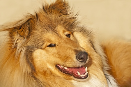 collie Stock Photo - 9167371