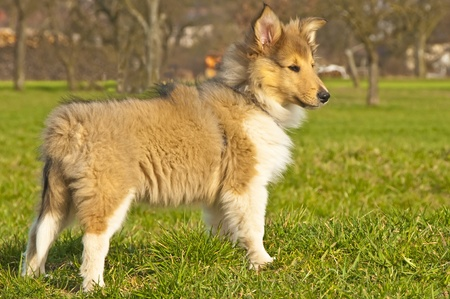 british collie puppy Stock Photo - 9220180