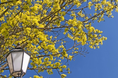 norway maple: Norway maple blooming with lantern Stock Photo