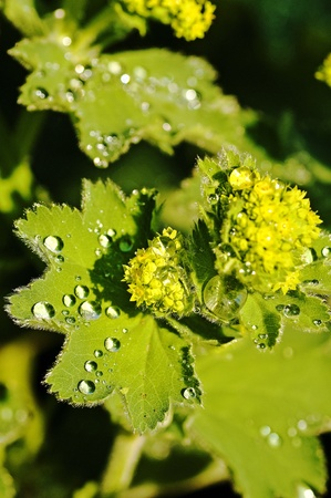 lady's mantle: lady`s mantle