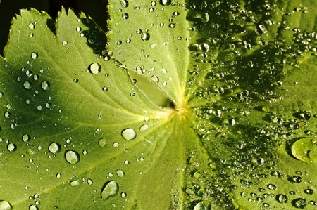 lady`s mantle photo