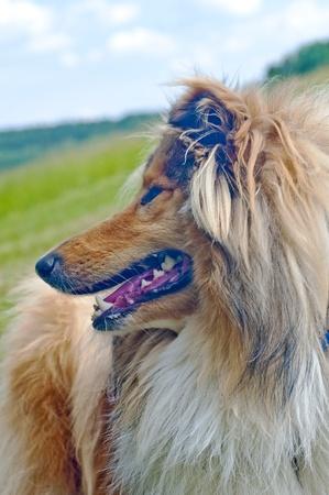 puppydog:  collie dog  Stock Photo