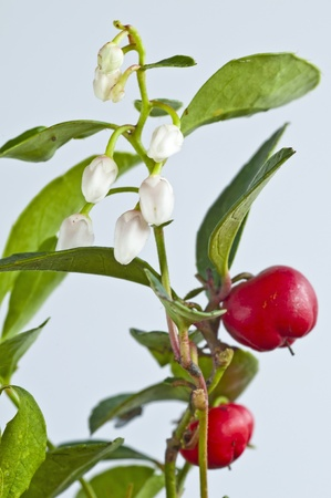 Gaultheria procumbens american indian medicine