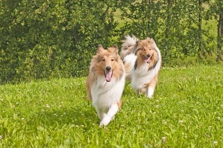 puppydog:  collie dogs Stock Photo