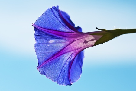 flower of morning glory Stock Photo - 10098310
