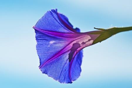 flower of morning glory photo