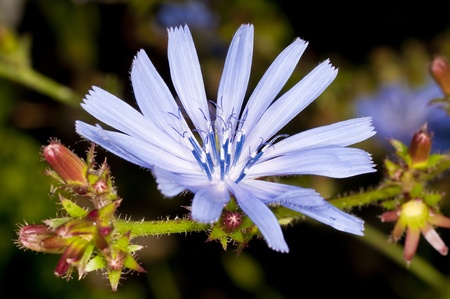 chicory coffee: Medicinal plant chicory