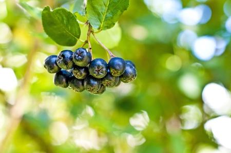 aronia berries at its bush