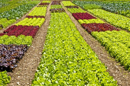 salad cultivation photo