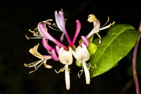 medicinal plant: Chinese medicinal plant honeysuckle